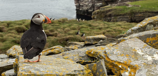 Atlantic puffin on the rocks in Noss island 2